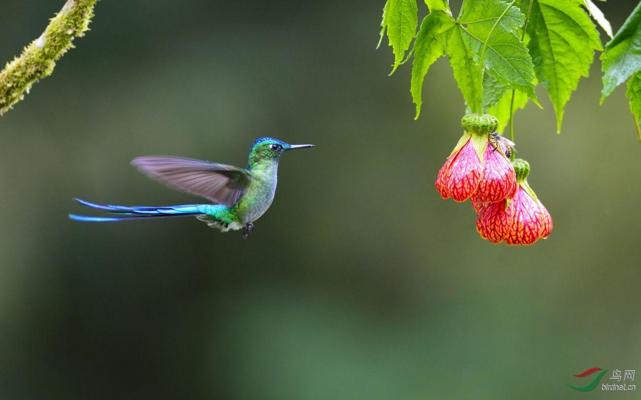 (长尾蜂鸟)一组蜂鸟--拍于厄瓜多尔