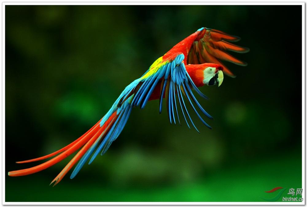 新加坡拍鸟十三鹦鹉 辽宁版 Liaoning 鸟网