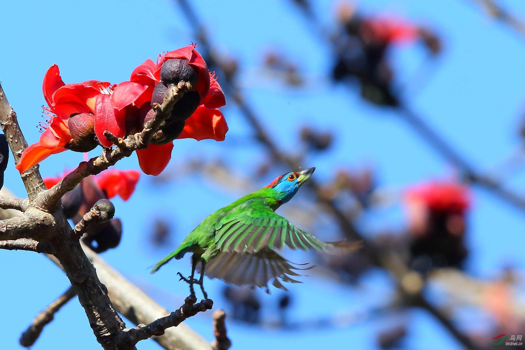 云南那邦拍的木棉花上的两种啄木鸟