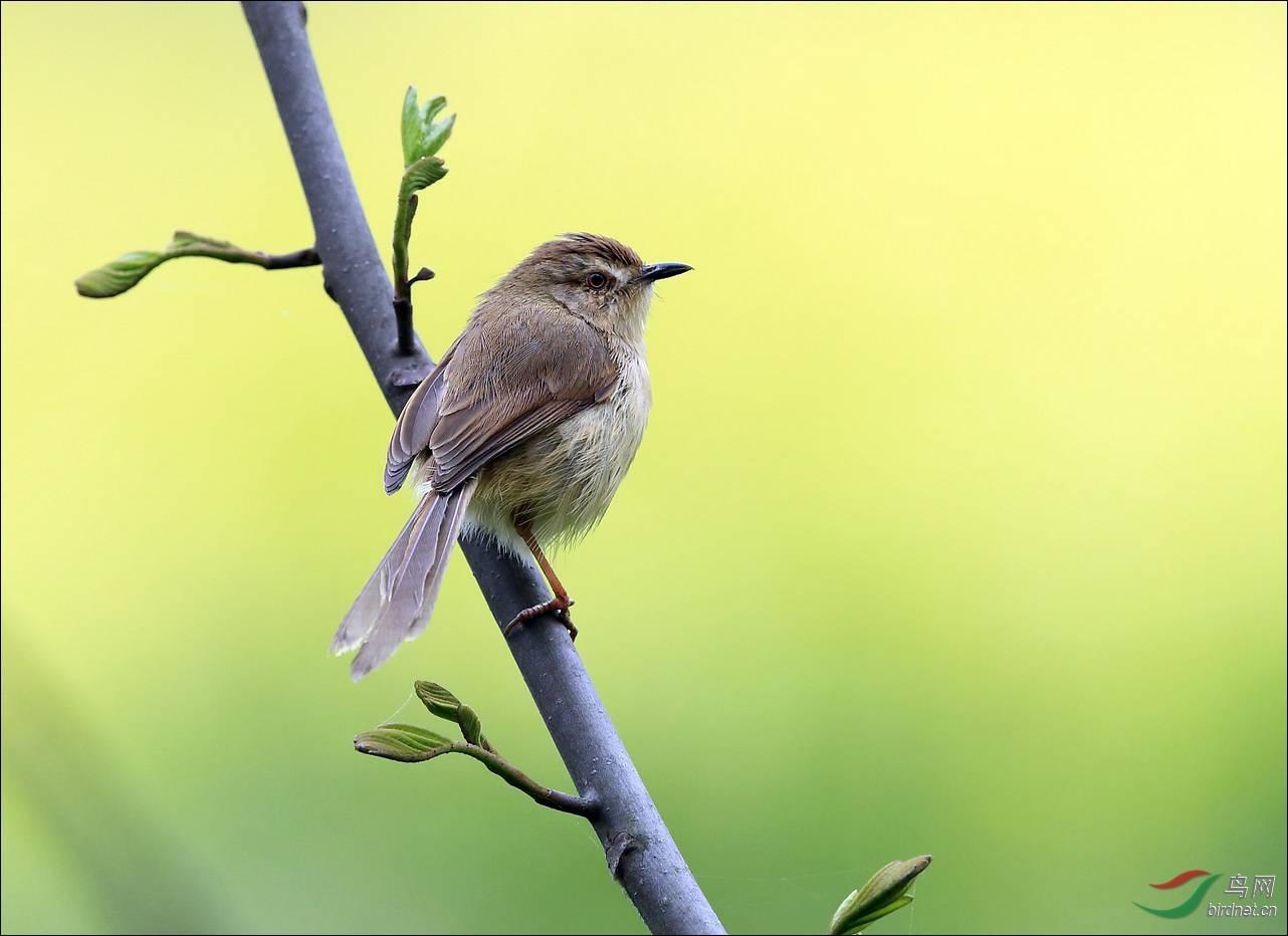 春天里的小鸟 - 四川版