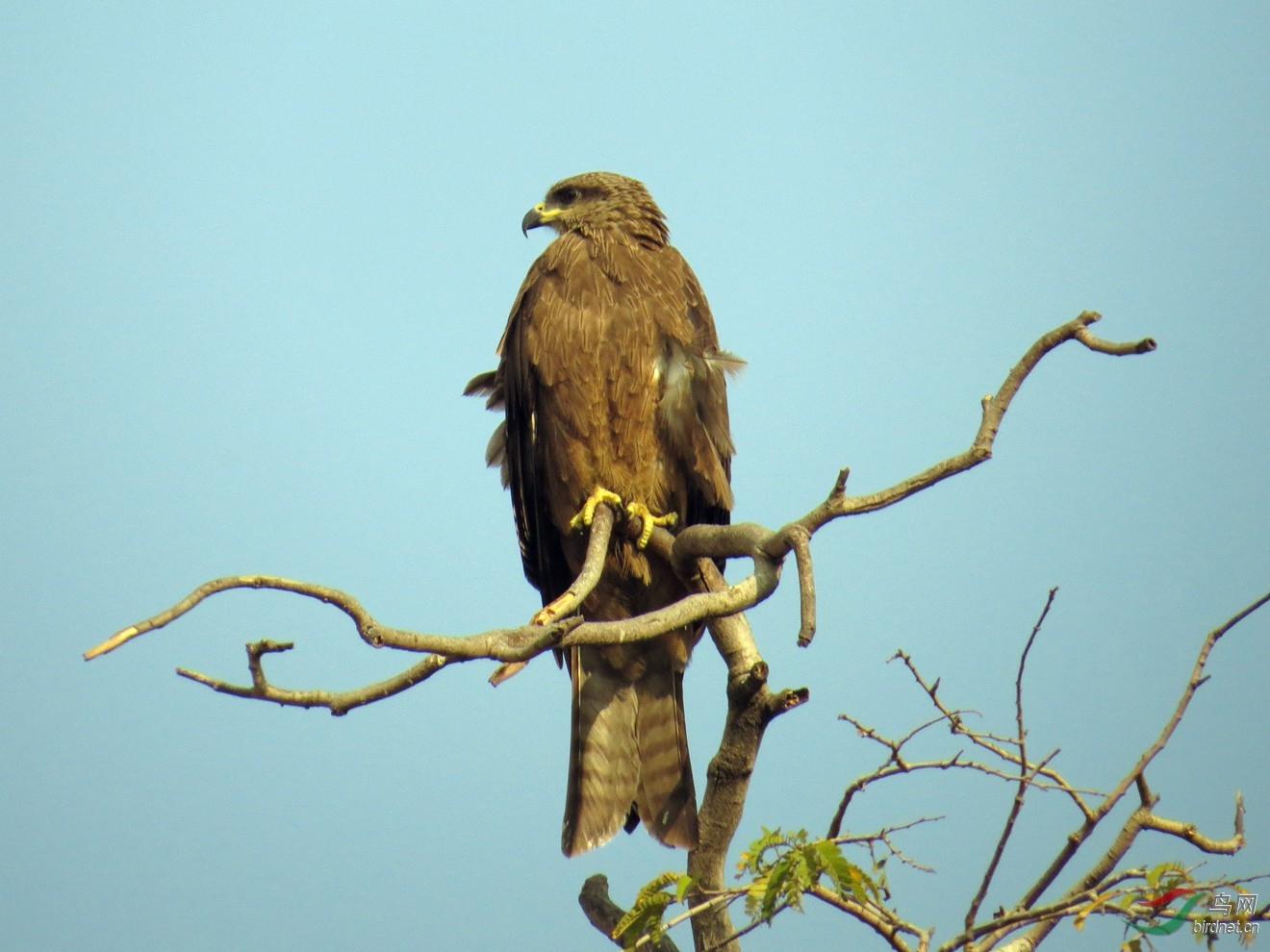 印度一只鹰