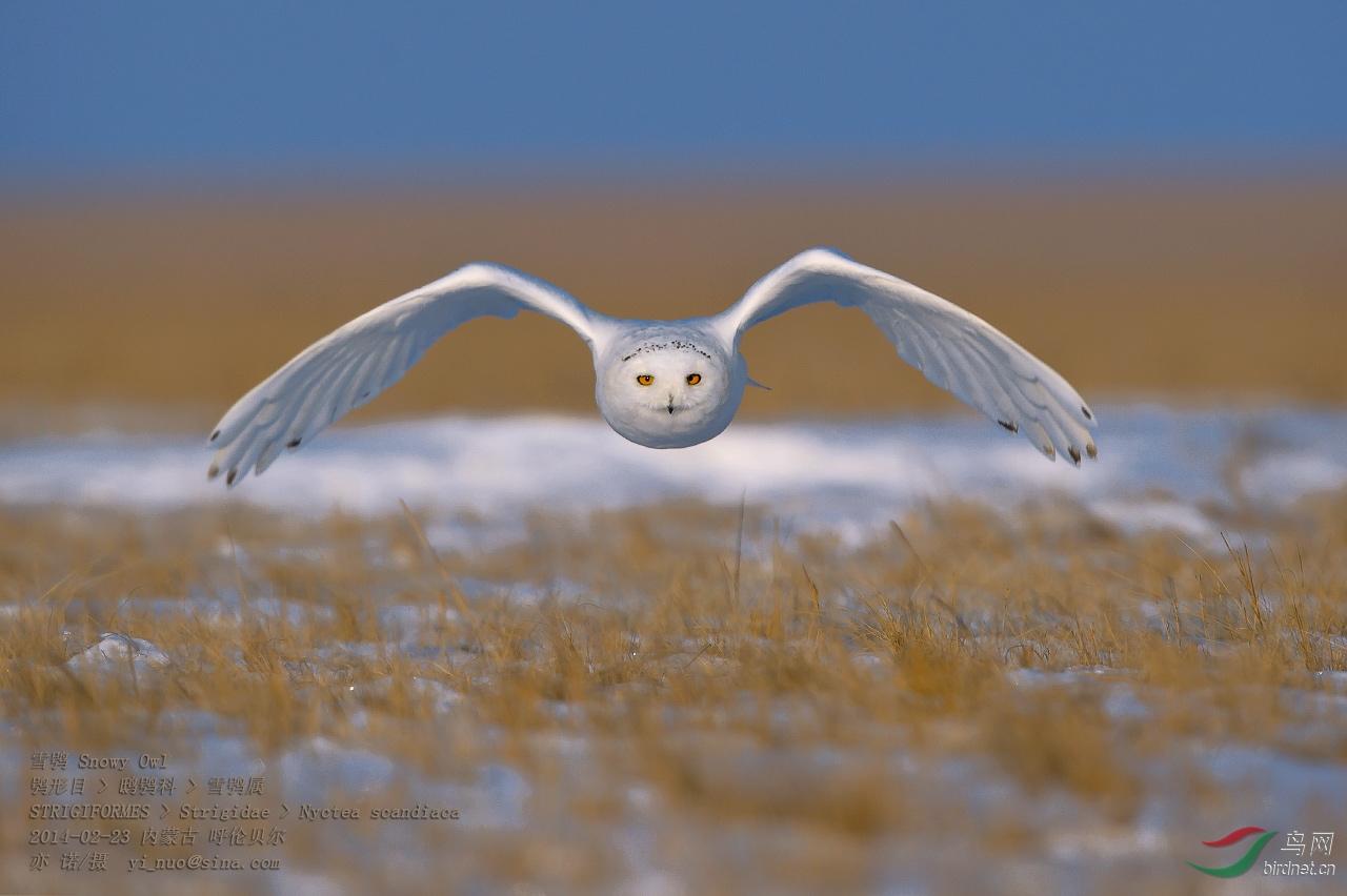 (雪鸮)雪鸮--最讨人喜欢的猫头鹰