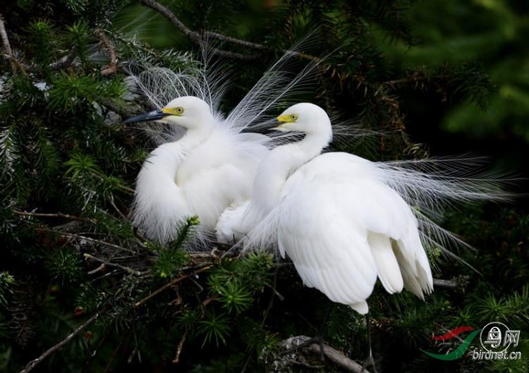 鷺鷥草      像鸟一样的花 - 长天秋水2 - 长天秋水 的博客