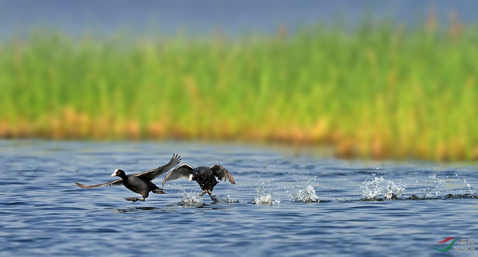 小鸭子水上漂