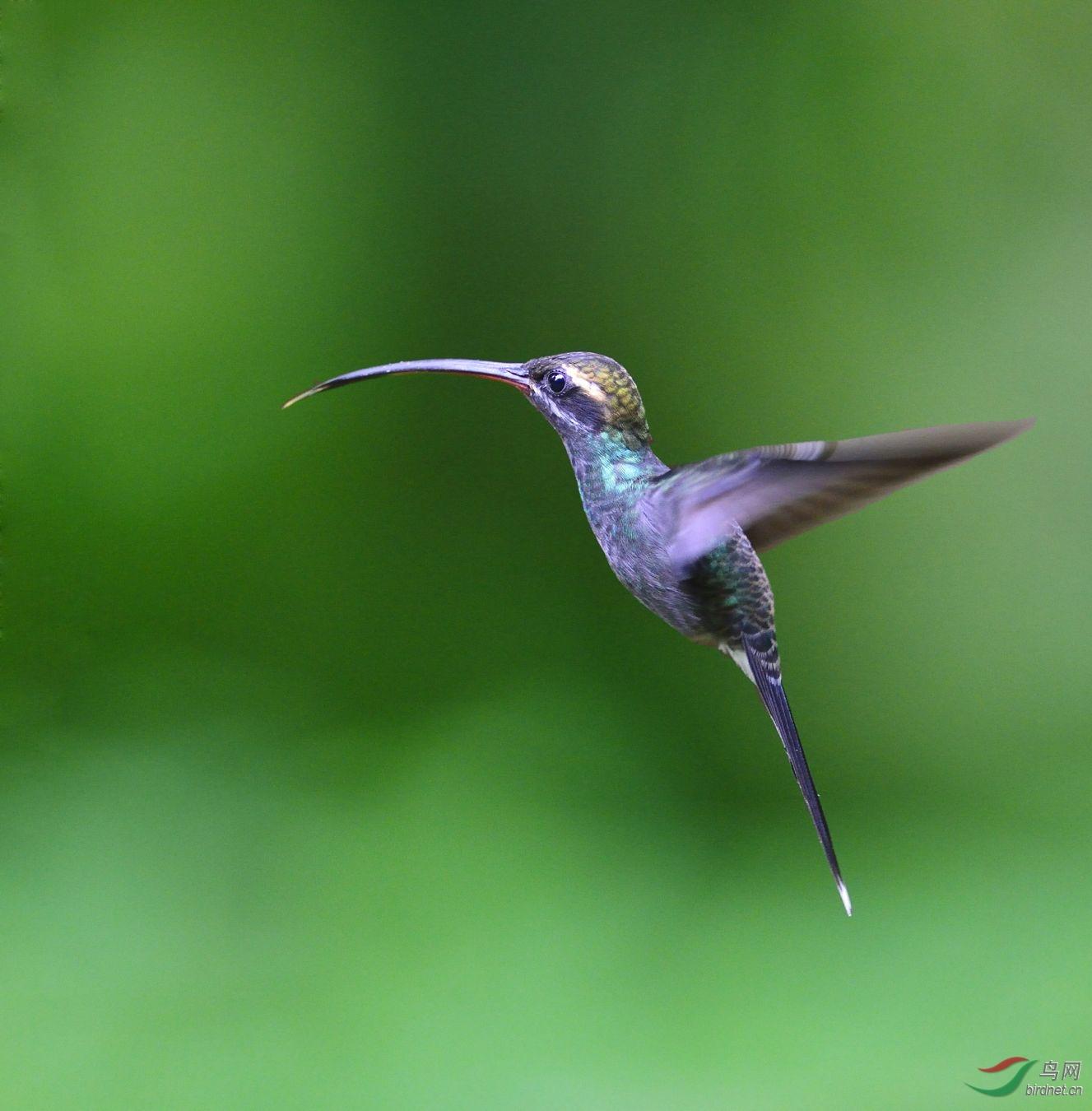 (长尾蜂鸟)再发一组蜂鸟