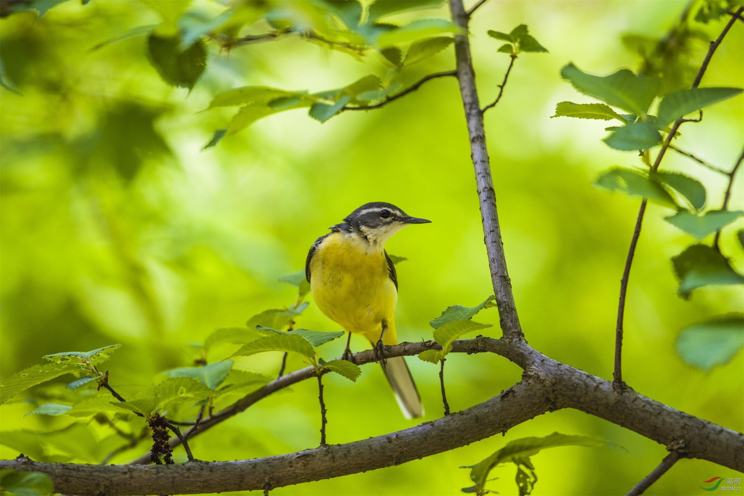 一组林中鸟 - 内蒙古版