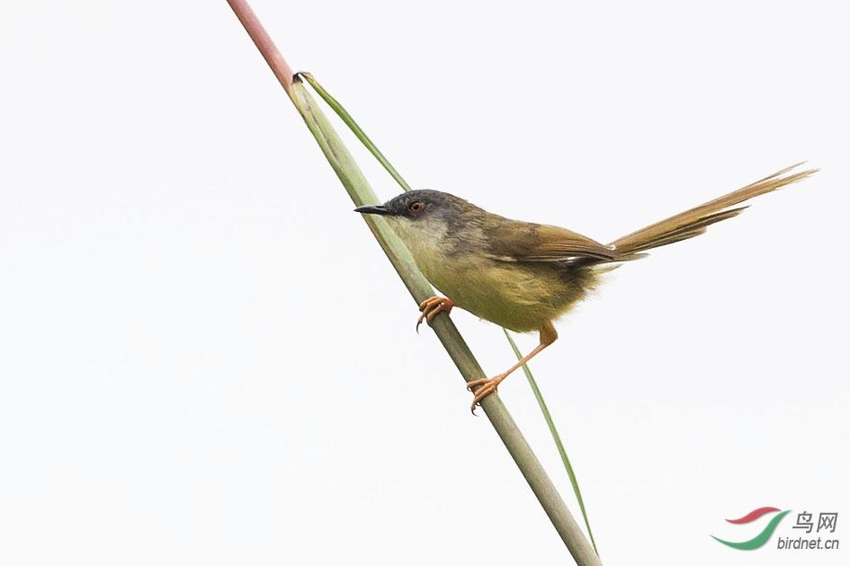 请教这是什么鹪莺 - 林鸟版 Forest Birds 鸟网