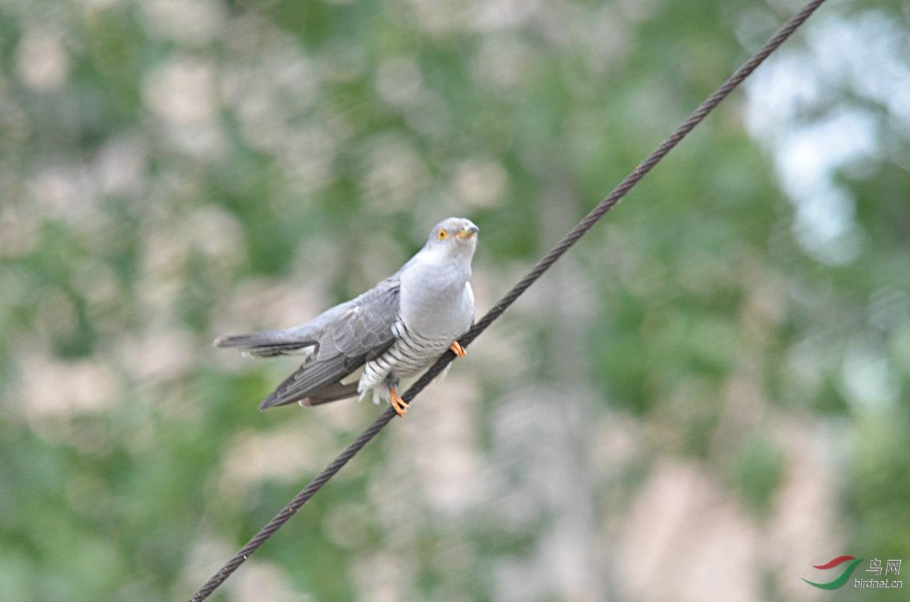 布谷鸟 - 林鸟版 forest
