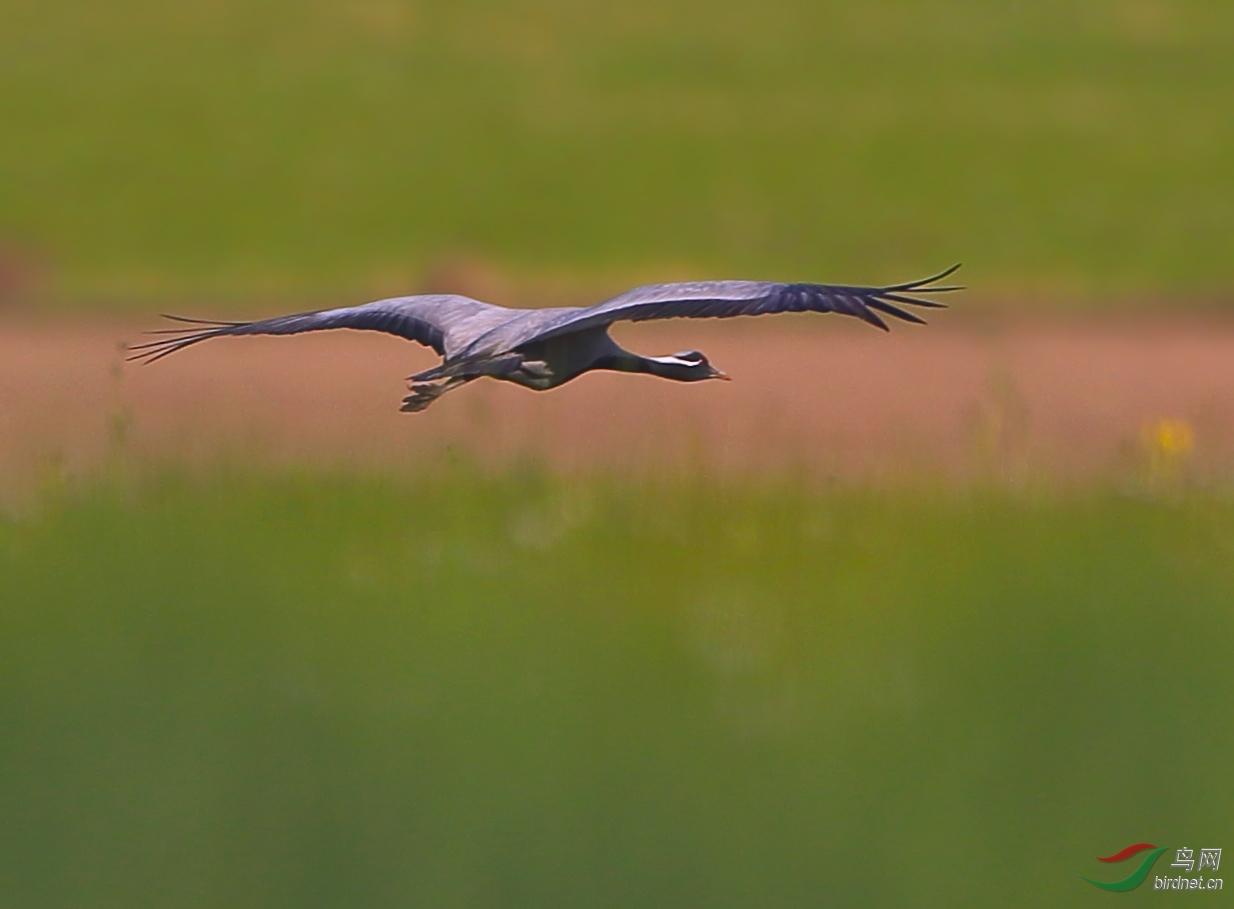昨天下午去了趟草原~~~ 行至草原深处,猛然发现这里已是花开遍地。两只蓑羽鹤正在远处悠闲觅食,我没有去惊扰这宁静,只是用500mm镜头+1.4倍增距镜记录下这美好的时刻