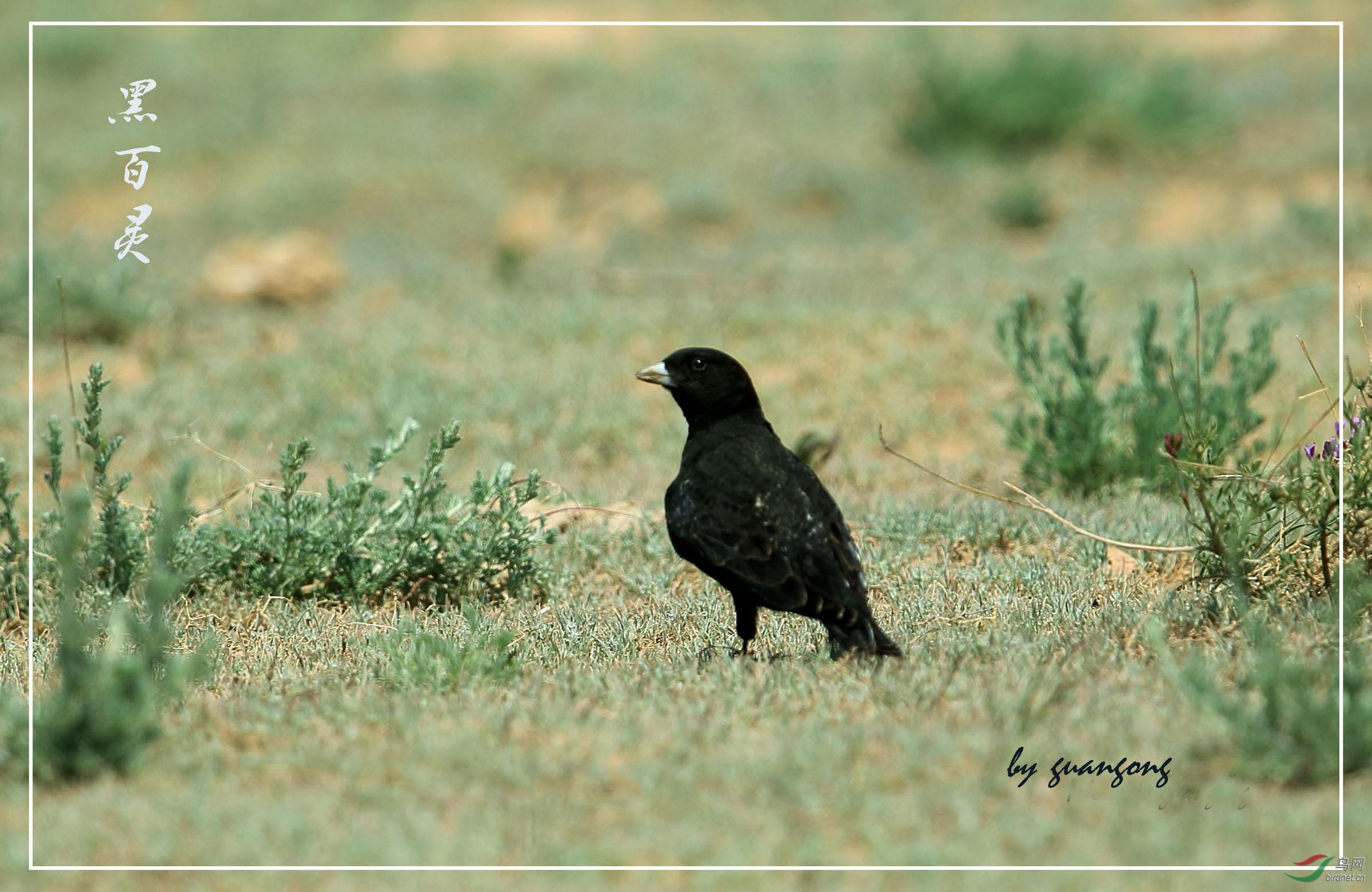 新疆拍鸟—黑百灵