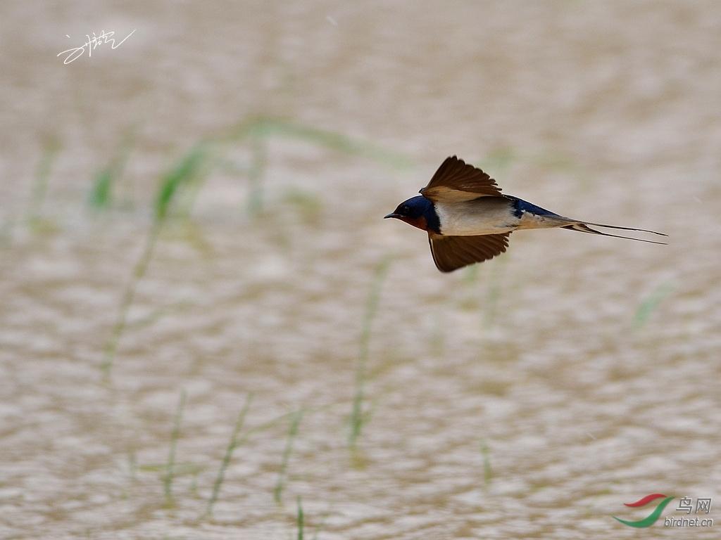 发觉越是常见的鸟类越是难拍,就比如田里经常飞来飞去的家燕,总想清晰的看看,燕子是什么样子的,感觉非常难,拍这样一组照片,的确花费了我不少功夫。 早在几千年前,人们就知道燕子秋去春回的飞迁规律。对燕子的飞迁习性,古代的诗人曾这样描述:旧时王谢堂前燕,飞入寻常百姓家,无可奈何花落去,似曾相识燕归来。燕子在冬天来临之前的秋季,它们总要进行每年一度的长途旅行成群结队地由北方飞向遥远的南方,去那里享受温暖的阳光和湿润的天气,而将严冬的冰霜和凛冽的寒风留给了从不南飞过冬的山雀、松鸡和雷鸟。 表面上看,是北国