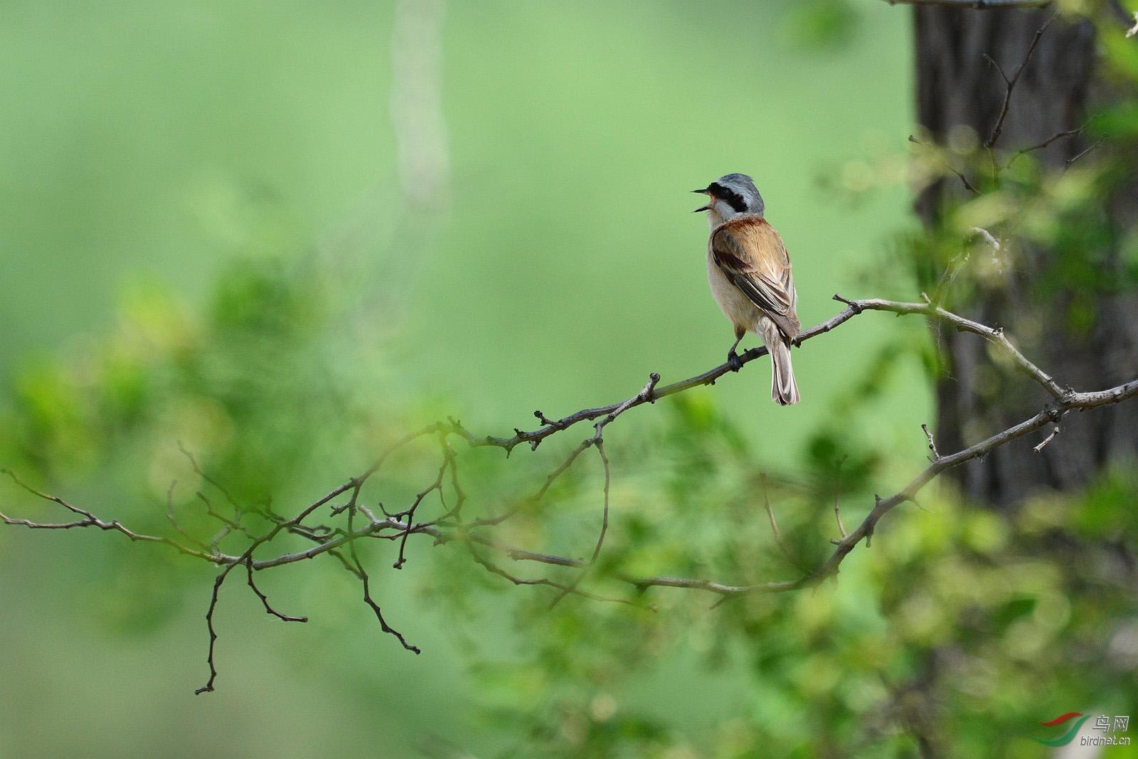 可爱的小鸟在枝头什么
