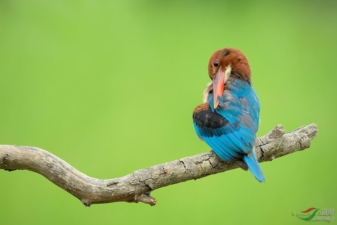 黄灵鸟羽毛的样子