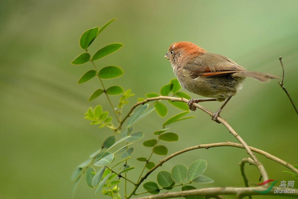 树枝上的小鸟 - 四川版