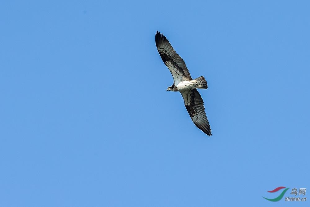 雄鹰在天空上飞翔 - 山东版