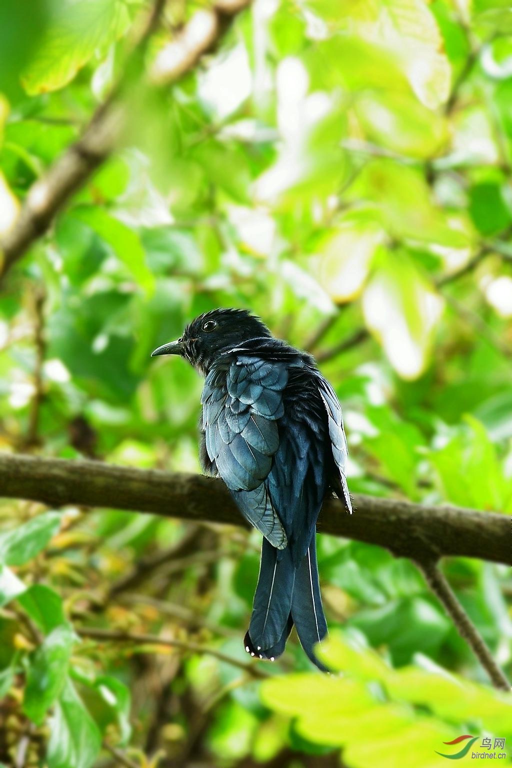 学名:Surniculus lugubris 为杜鹃科乌鹃属的鸟类,俗名卷尾鹃、乌喀咕。分布于中国大陆的西藏、四川、云南、贵州、广西、福建、广东、海南等地,主要栖息于大森林或平原较稀疏的林木间以及在树上活动和栖息。