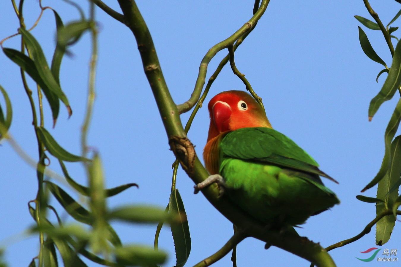 红嘴绿鹦哥 - 三门峡生态 鸟网