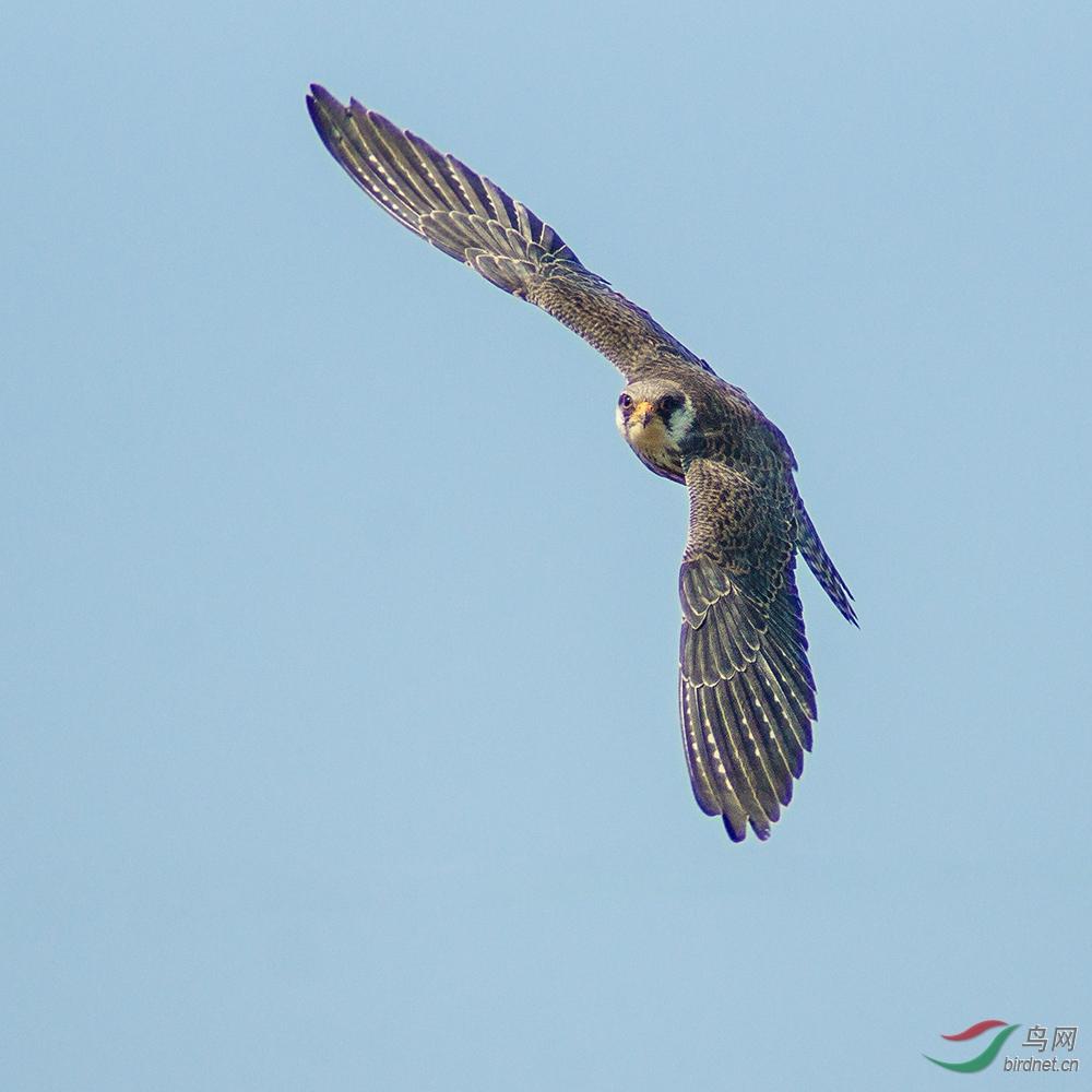 阿穆尔隼(Falco amurensis)繁殖于西伯利亚至朝鲜北部及中国中北部、东北,印度东北部有一记录。迁徙时见于印度及缅甸;越冬于非洲。罕见候鸟于华东及华南。 分类:隼形目、隼科、隼属 体小(31厘米)的灰色隼。腿、腹部及臀棕色。似红脚隼但飞行时白色的翼下覆羽为其特征。雌鸟:额白,头顶灰色具黑色纵纹;背及尾灰,尾具黑色横斑;喉白,眼下具偏黑色线条;下体乳白,胸具醒目的黑色纵纹,腹部具黑色横斑;翼下白色并具黑色点斑及横斑。亚成鸟似雌鸟但下体斑纹为棕褐色而非黑色。 虹膜-褐色;嘴-灰色,蜡膜红色;脚-红色