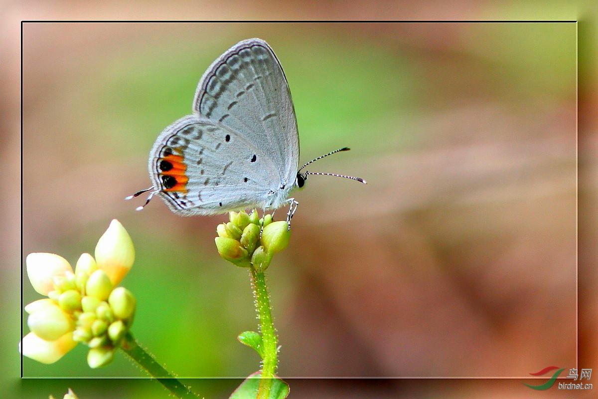 蓝灰蝶的物种简介