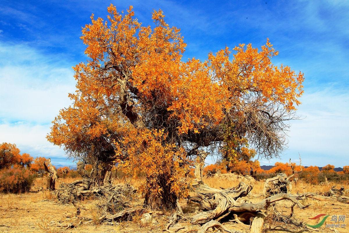 今年的新疆之行,距离木垒县180公里处的原始胡杨林