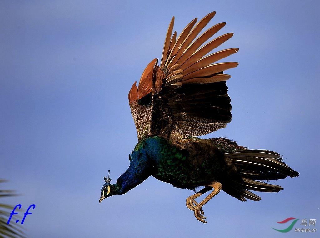 美丽孔雀自由飞翔3 - 花開有聲 - 花開有聲