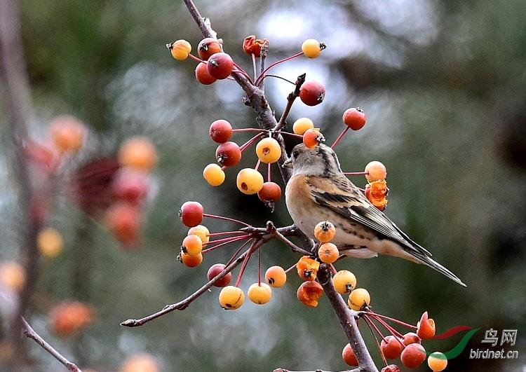 小海棠树上的燕雀