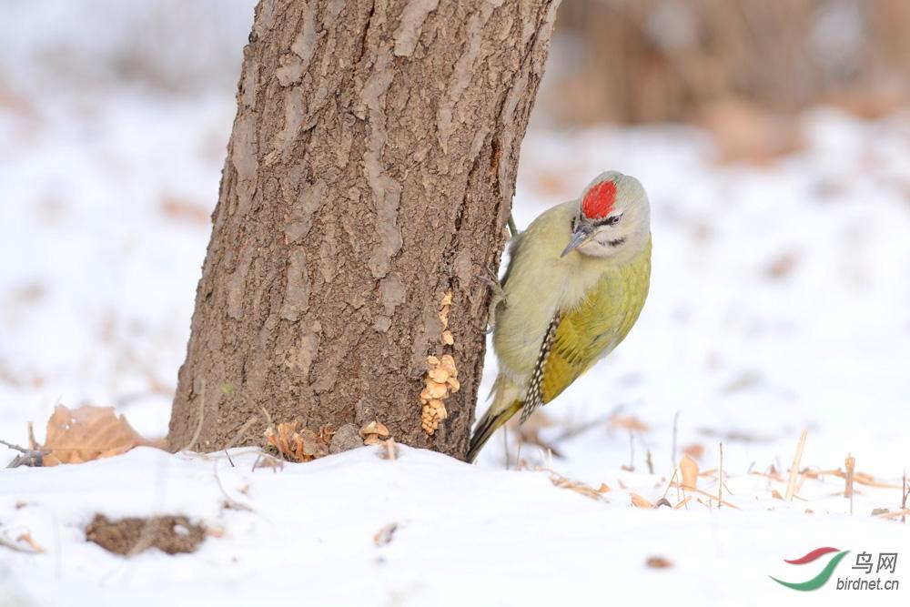 林海雪原一点红 - 林鸟版 Forest Birds 鸟网