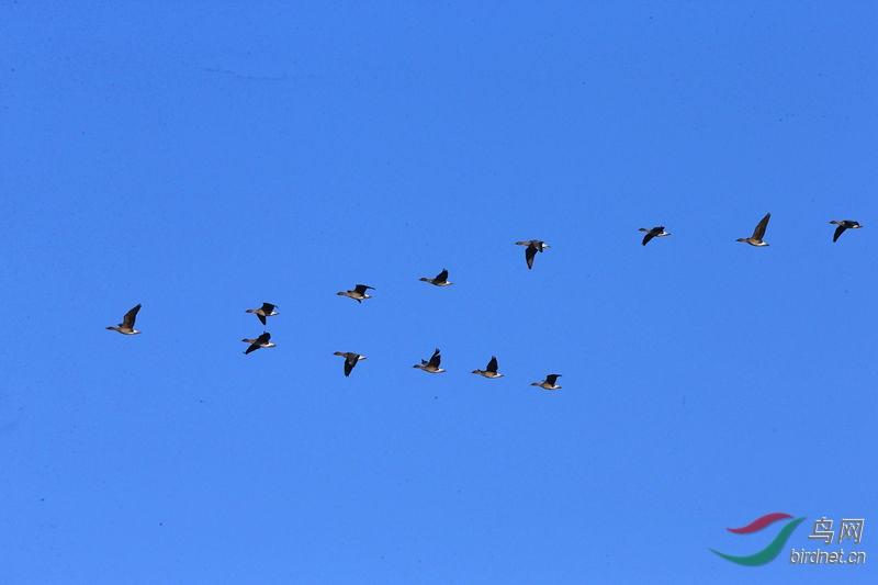 蓝天大雁行 - 山东版 Shandong 鸟网
