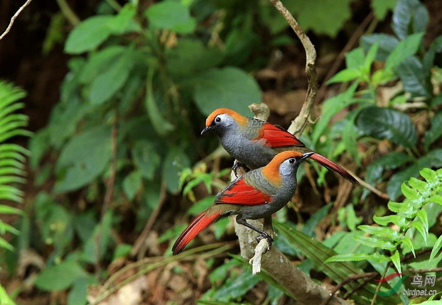 赤尾噪鹛动物素描