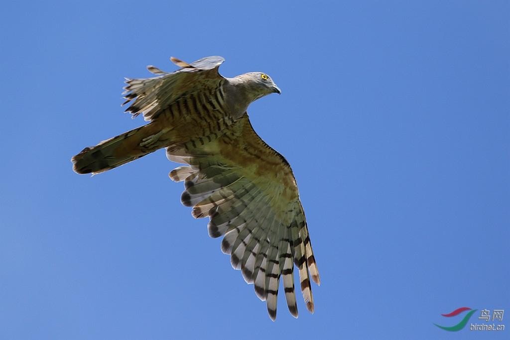 隼宝种子_澳洲鸟类(16)——凤头鹃隼