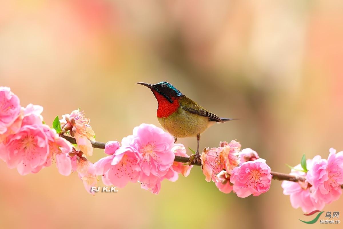 桃花.叉尾太阳鸟