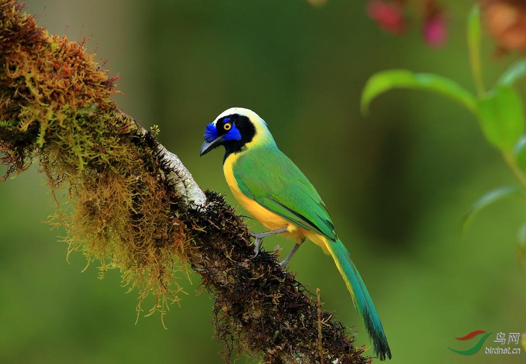 (安第斯动冠伞鸟)2015厄瓜多尔拍鸟记
