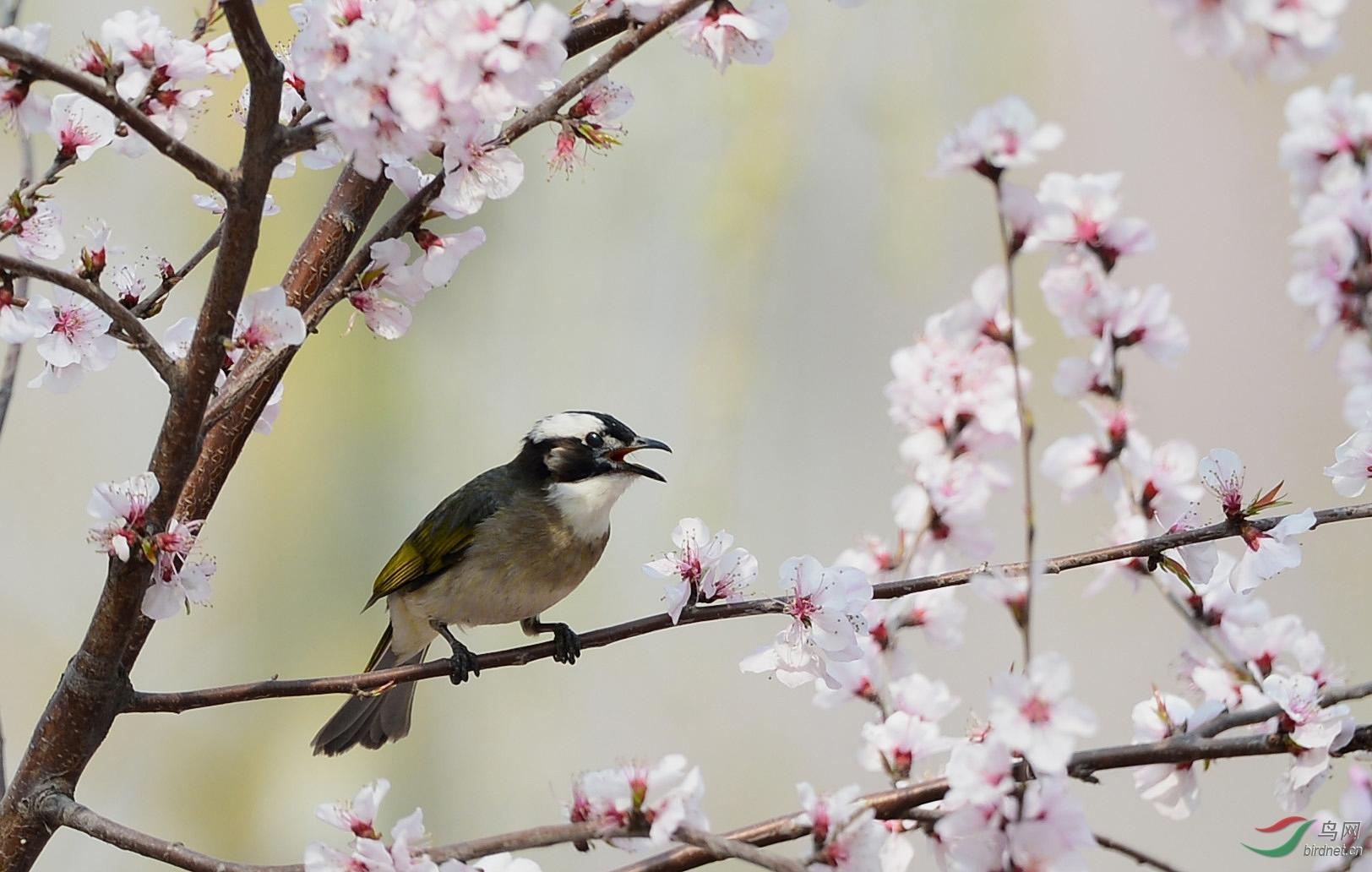 歌唱春天 - 北京版 beijing