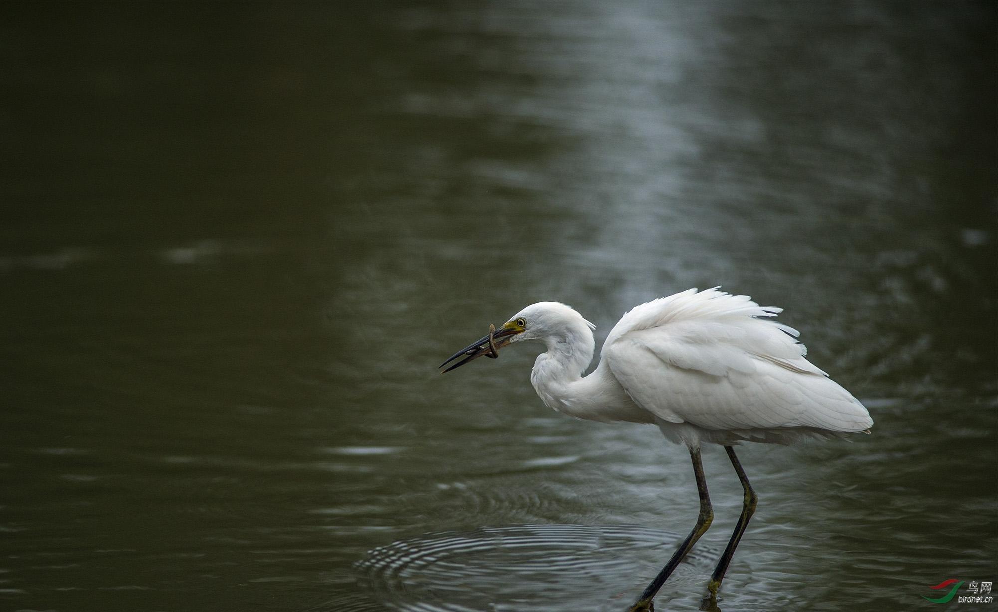 月光下的白鹭 - 观鸟拍鸟之旅 Bird Trip Reports