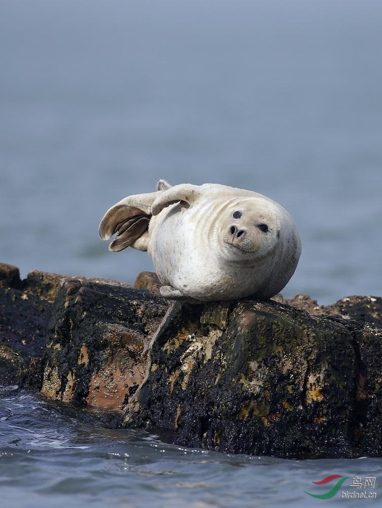 山东长岛----野生斑海豹