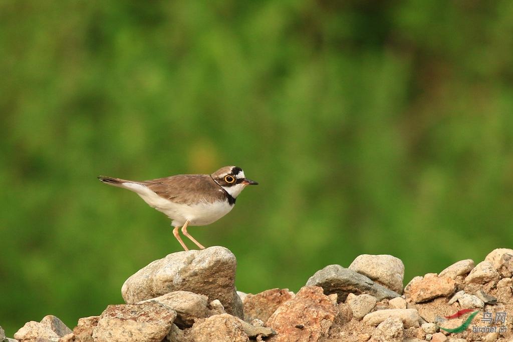 )是一种小型鸻科鸟,全长约16厘米,上体沙褐色,下体白色。有明显的白色领圈,其下有明显的黑色领圈,眼后白斑向后延伸至头顶相连。单个或成对活动,活动时行走速度甚快,常边走边觅食,并伴随着一种单调而细弱的叫声。通常急速奔走一段距离后稍微停停,然后再向前走。常栖息于湖泊沿岸、河滩或水稻田边。以昆虫为主食,兼食植物种子、蠕虫等。候鸟,在非洲过冬,其它时候则在欧洲和亚洲西部栖息繁殖。 列入《世界自然保护联盟》(IUCN) 2012年濒危物种红色名录ver 3.