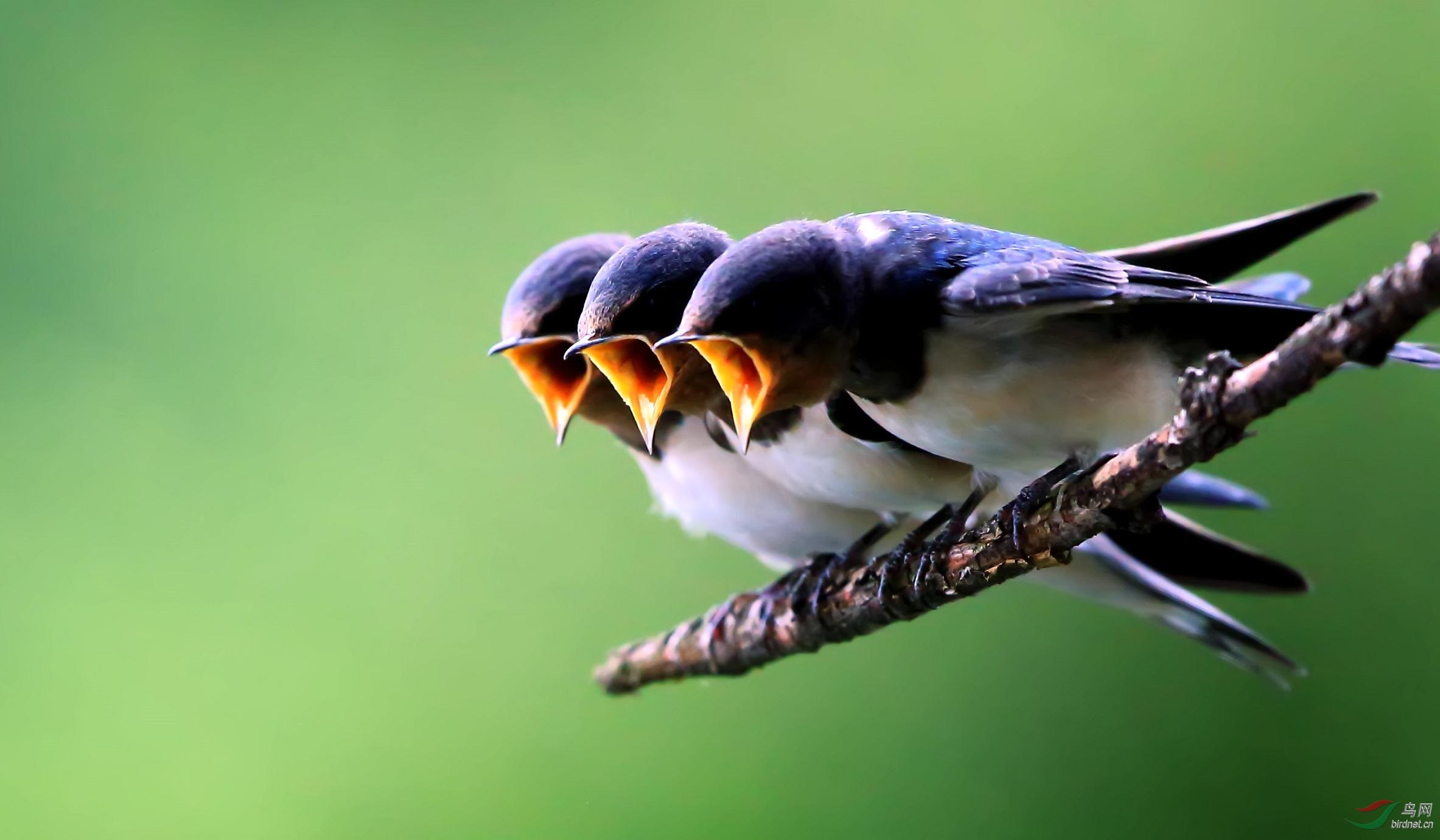 家有小燕子,幸福吉祥来------家燕