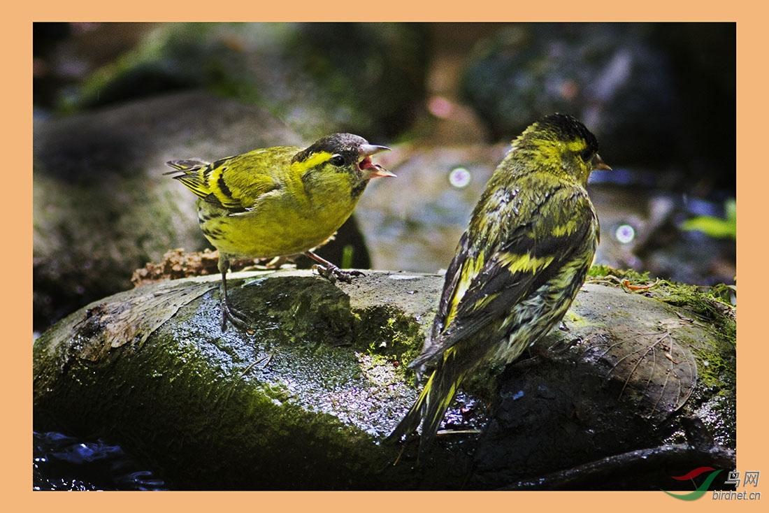 不友好的黄雀 - 广西版 Guangxi 鸟网