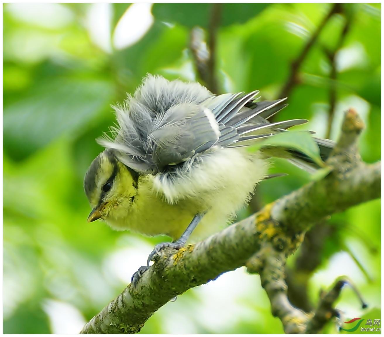 大山雀幼鸟季节高温观赏鱼室内温度图片
