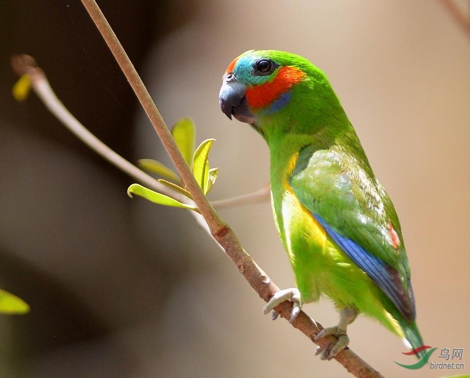 世界上最小的鹦鹉 - 陕西版