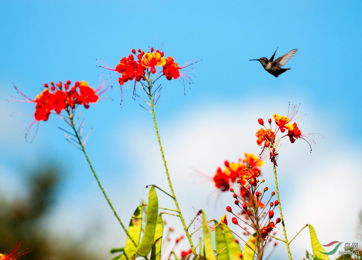 阔尾隐蜂鸟