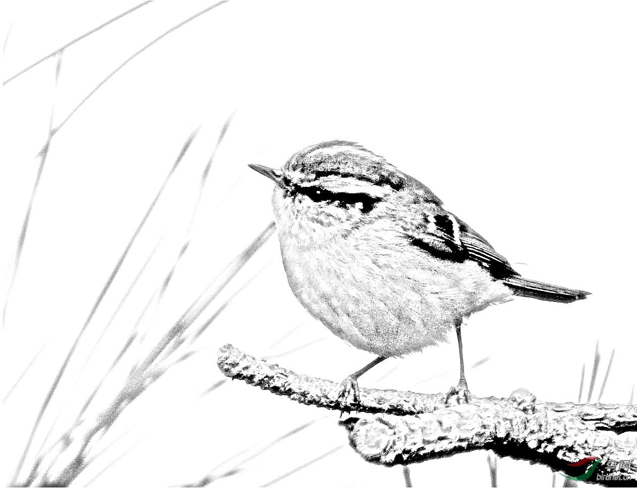 素描小鸟柳莺和丝光椋鸟