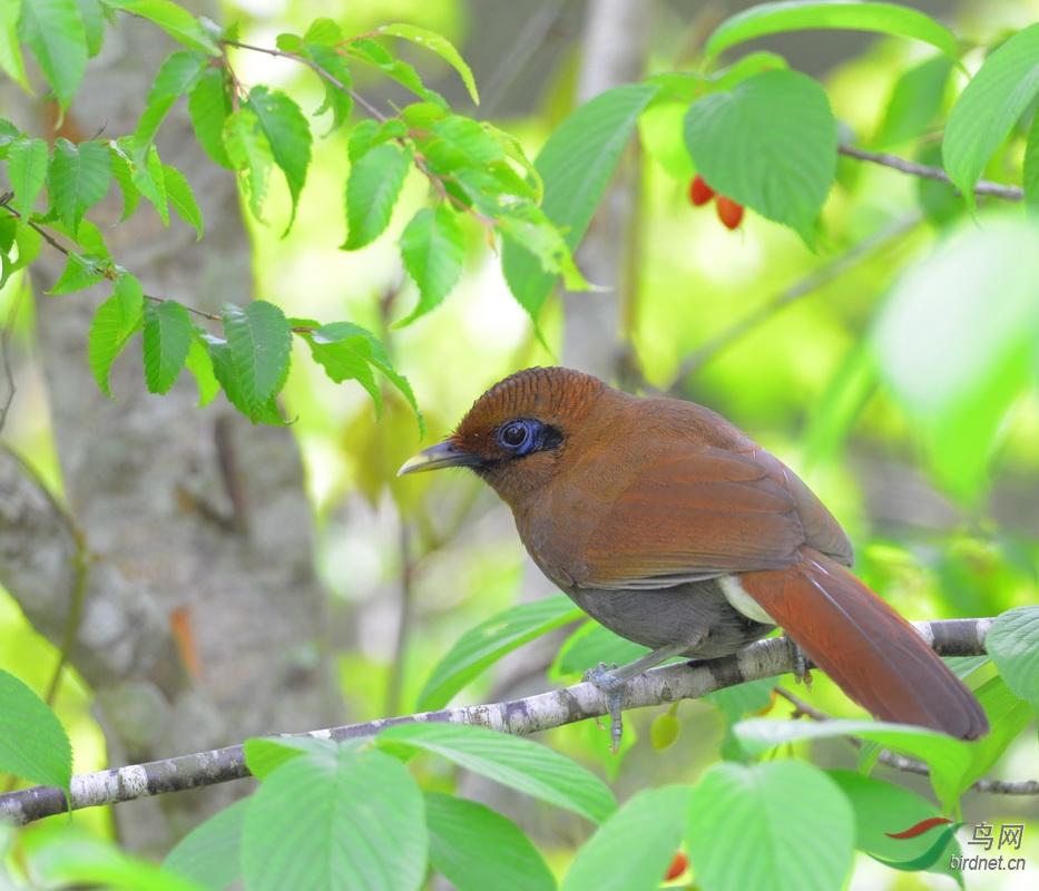 23. 竹鳥(棕噪鶥).JPG