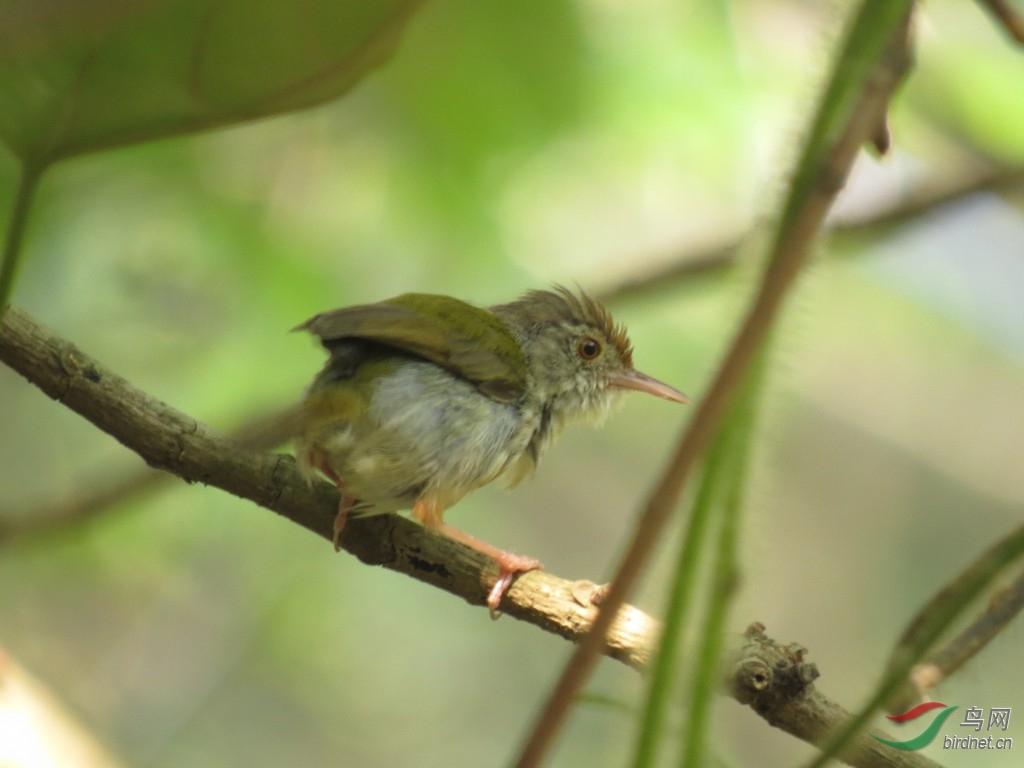 树下避雨的长尾缝叶莺图片
