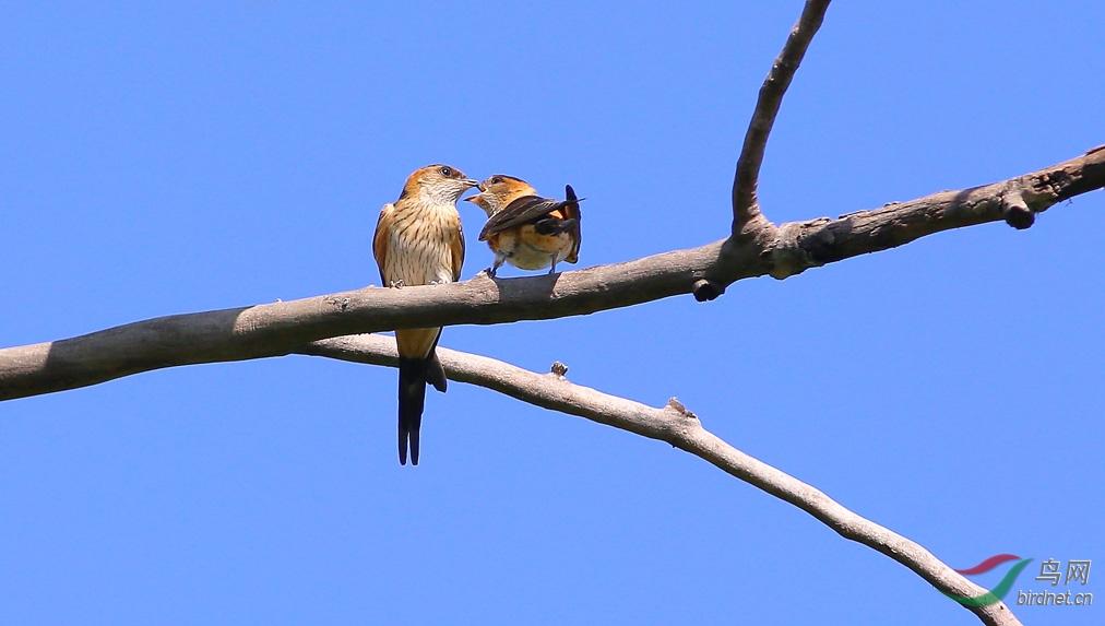 两只可爱的小燕子