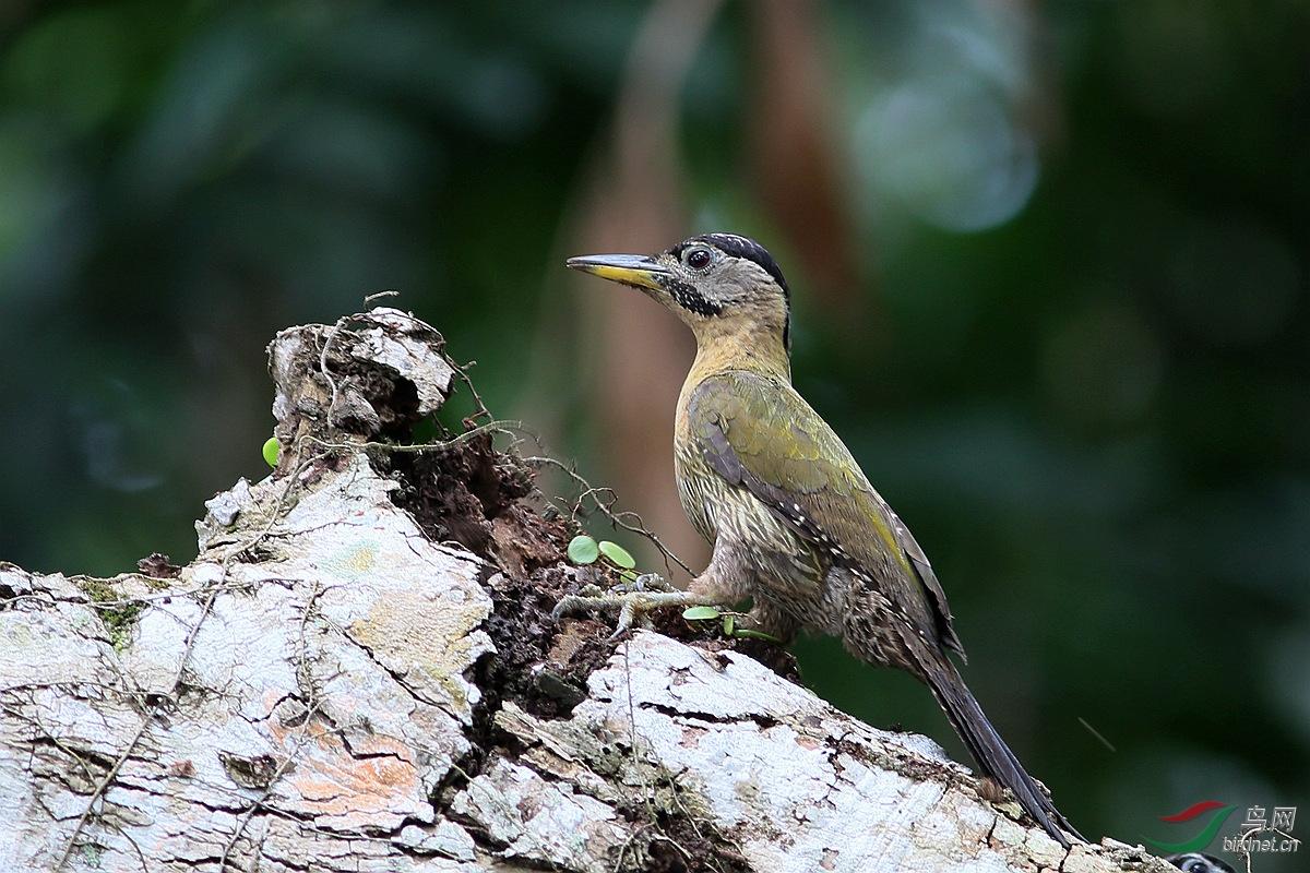 黄而具明显的绿色羽缘花纹;黑色的过眼纹及颊纹杂白