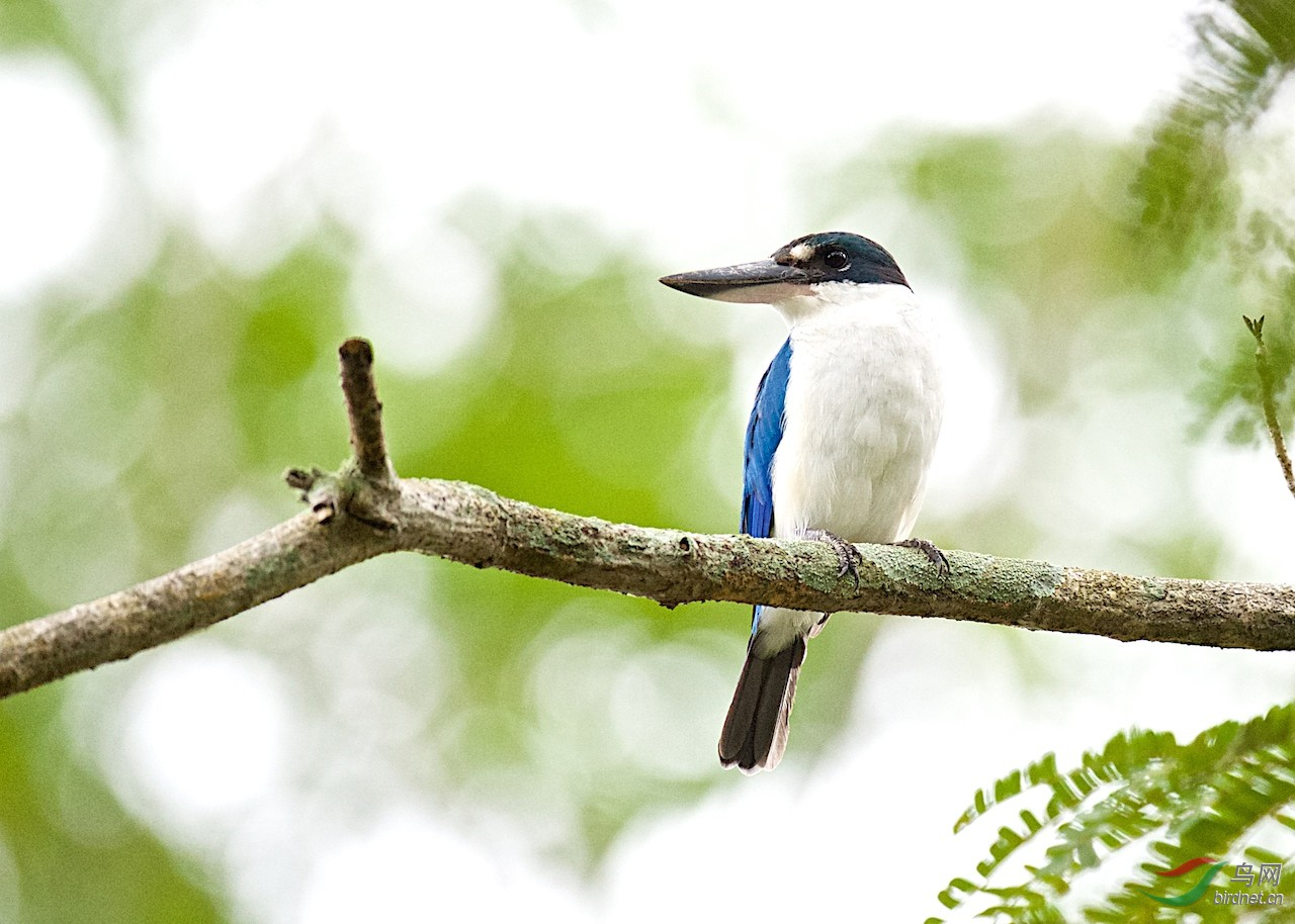 白领翡翠: 英文名:Collared Kingfisher - 四川版