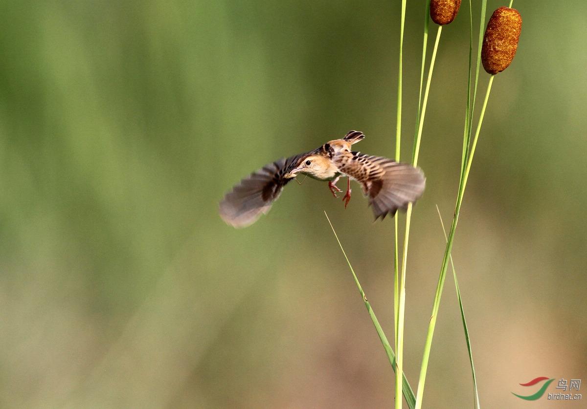 棕扇苇莺.jpg