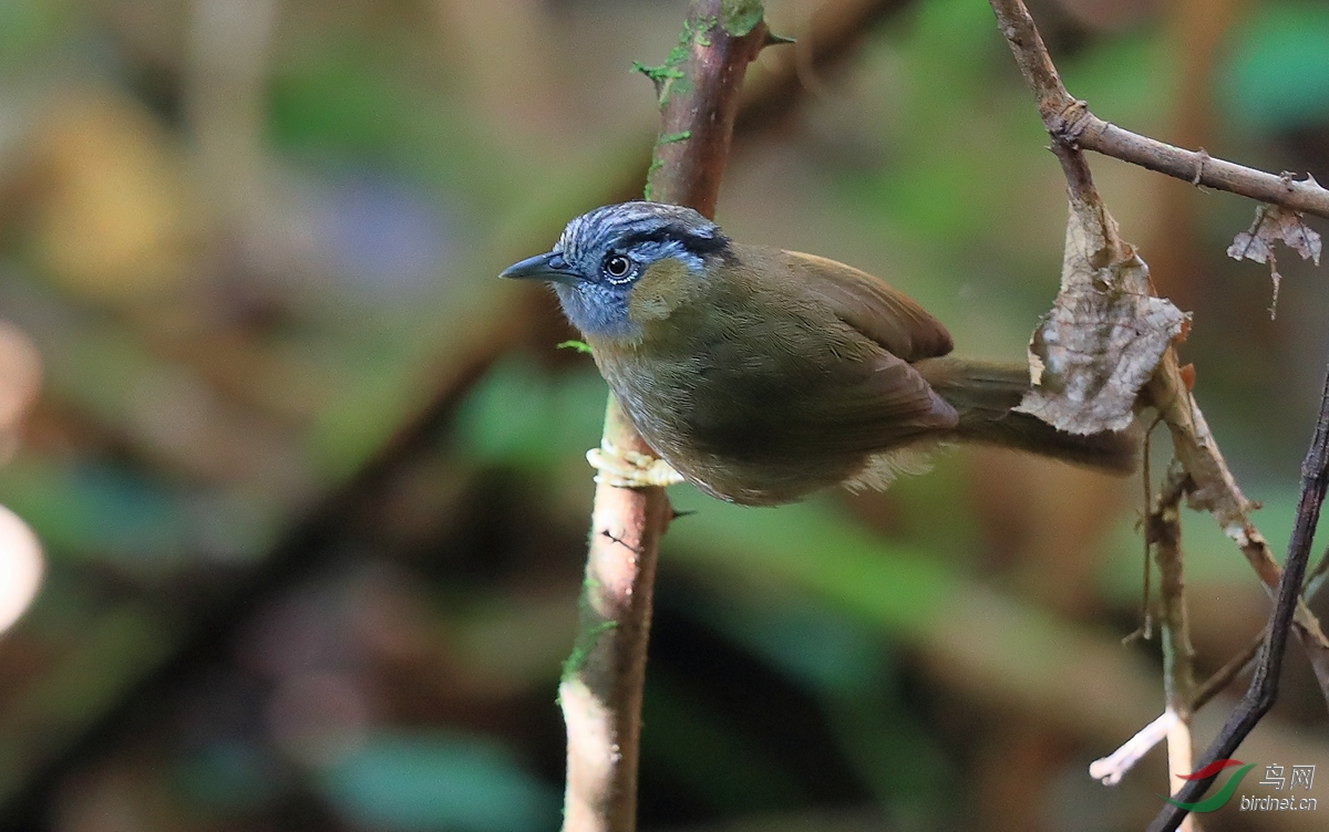 黑眉雀鹛Black-browed Fulvetta.jpg