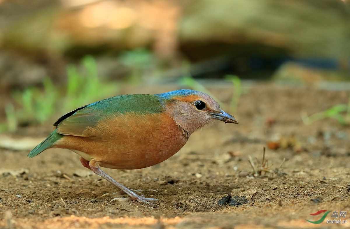 蓝背八色鸫Blue-rumped Pitta.jpg
